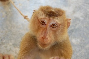 Northern Pig-tailed Macaque at the Monkey School on Koh Lanta Yai, Thailand