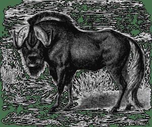 White-tailed gnu (Black wildebeest)